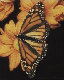 Бабочка Монарх большой фото