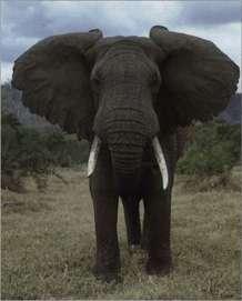 Африканский слон Доклад реферат Доклад реферат