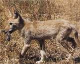 американский луговой волк - койот