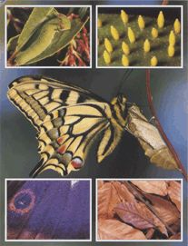 Реферат как рождаются бабочки 9008