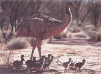 Эму размножение страуса фото