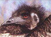 Эму фото страуса