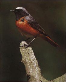 Садовая лысушка птица фото видео