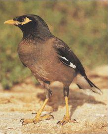 Скачать видео про птицу священная майна фото 93-61
