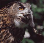 Филин обыкновенный (хищная птица)